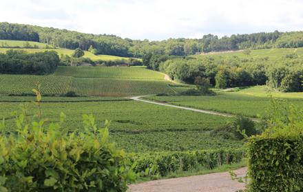 vigne-corton